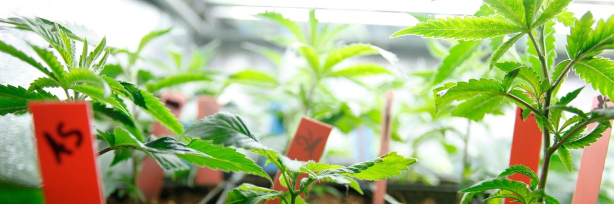 Cannabis Cultivation Insurance